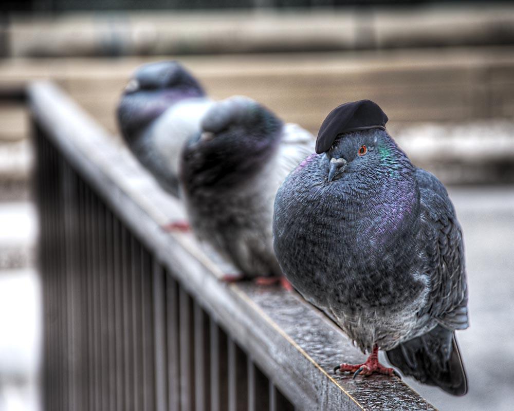Evil pigeon wearing beret hat