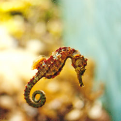 George the seahorse