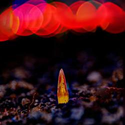 Bokeh behind growing red tulips