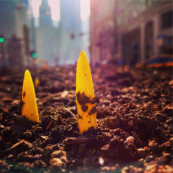 Chicago tulips breaking ground in Chicago