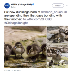 Six new ducklings born at @shedd_aquarium are spending their first days bonding with their mother: https://to.wttw.com/2HCzkjl #ChicagoTonight