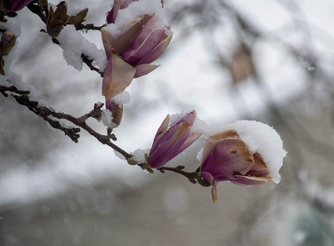 Magnolia flower holding snow in Glen Ellyn, Illinois