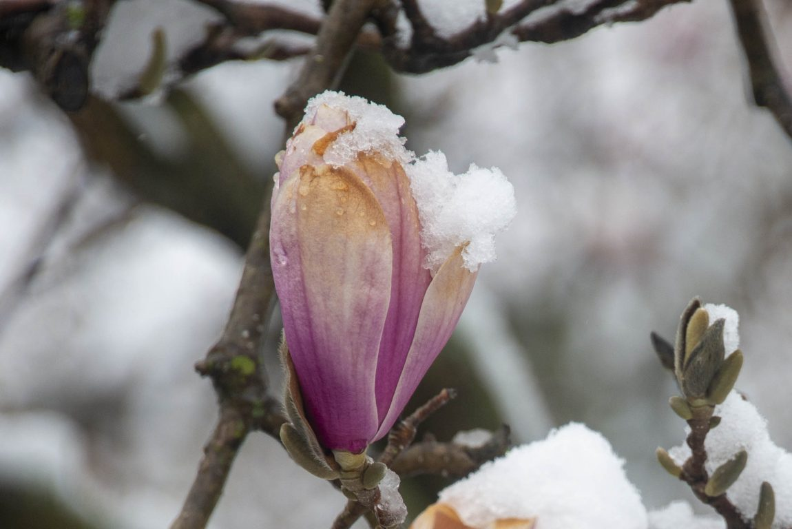Magnolia flower frosted with snow in Glen Ellyn, Illinois