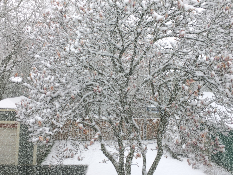 Magnolia tree covered in snow, captured with time lapse in Glen Ellyn, Illinois