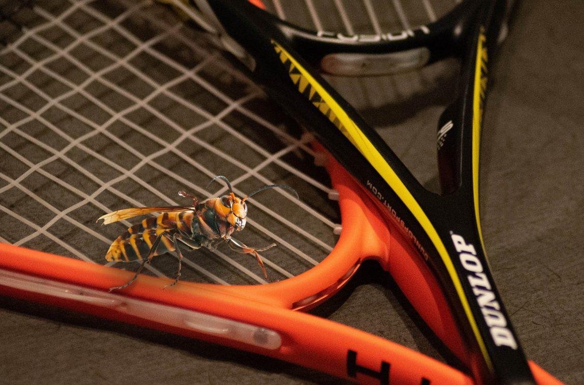 murder hornet on tennis racket